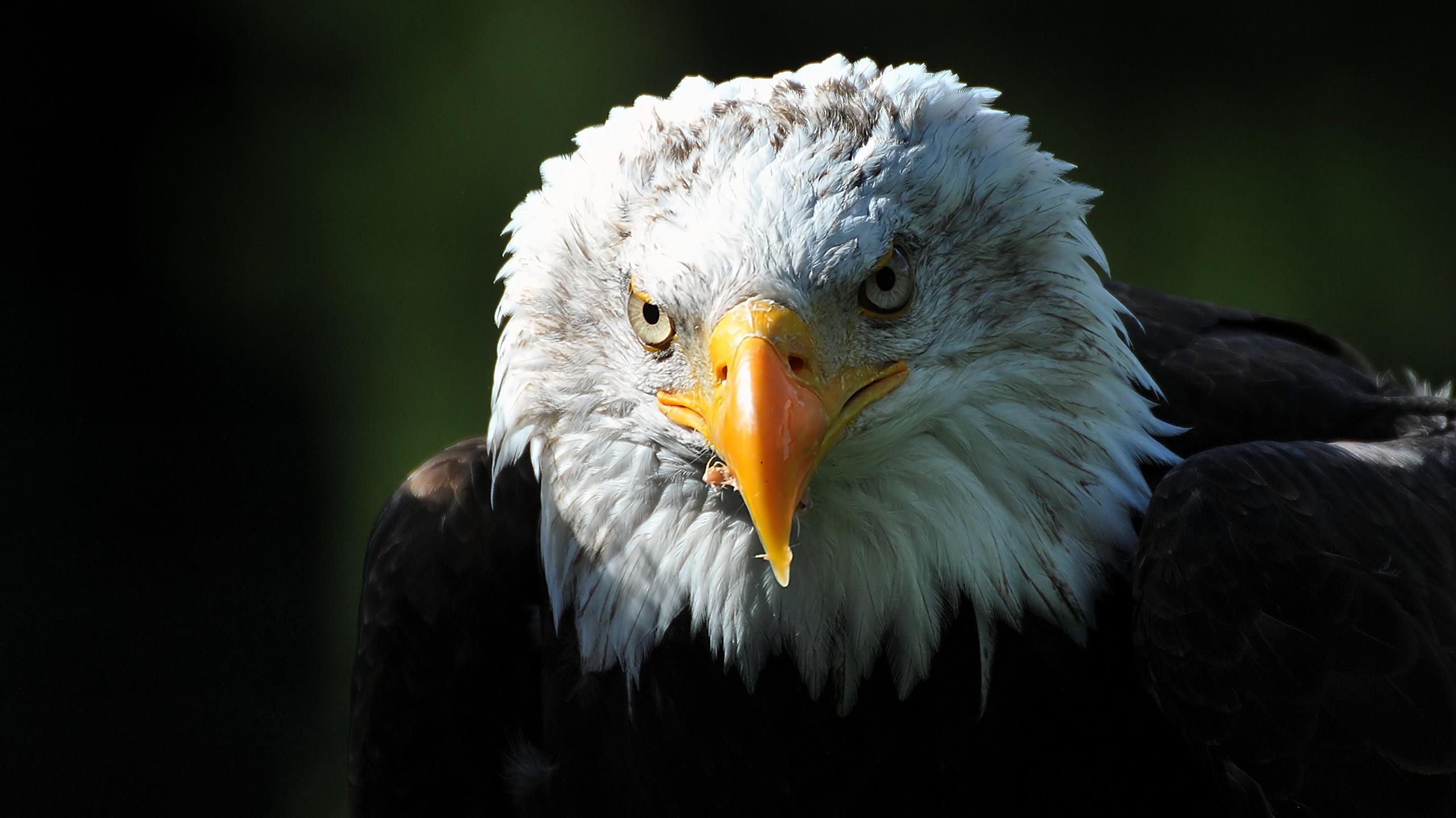 Fonds Decran 2560x1440 Oiseau Buse En Gros Plan Tête