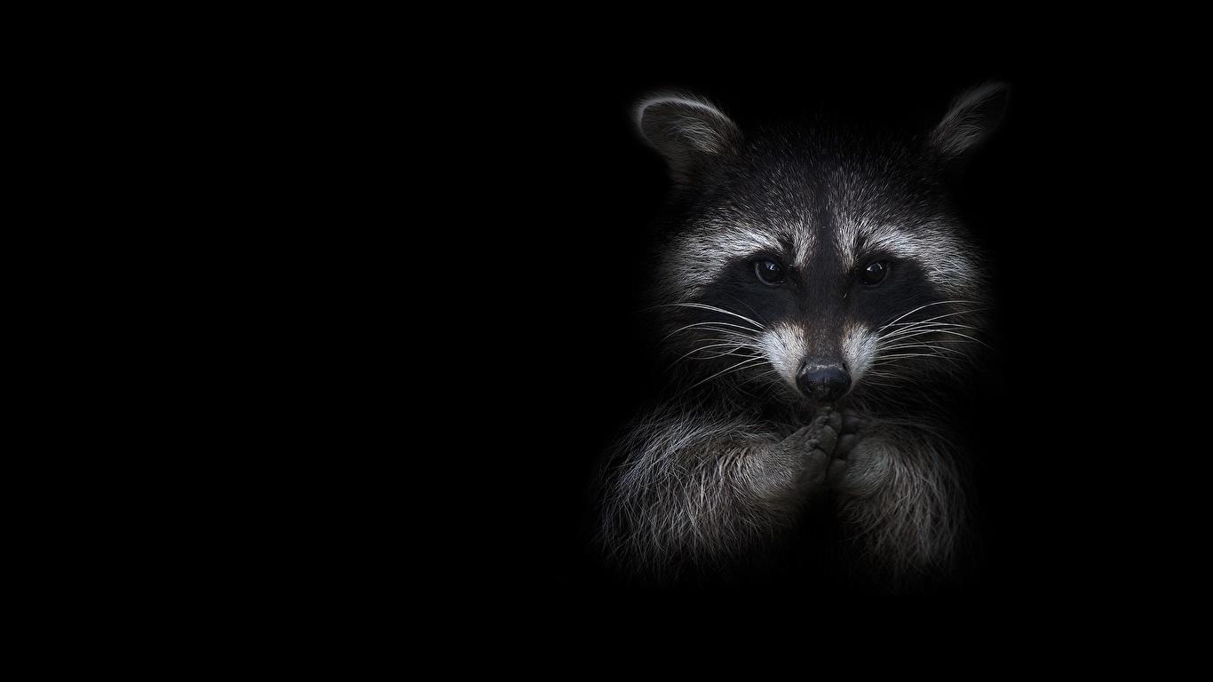 壁紙 1366x768 アライグマ 黒色背景 動物 ダウンロード 写真