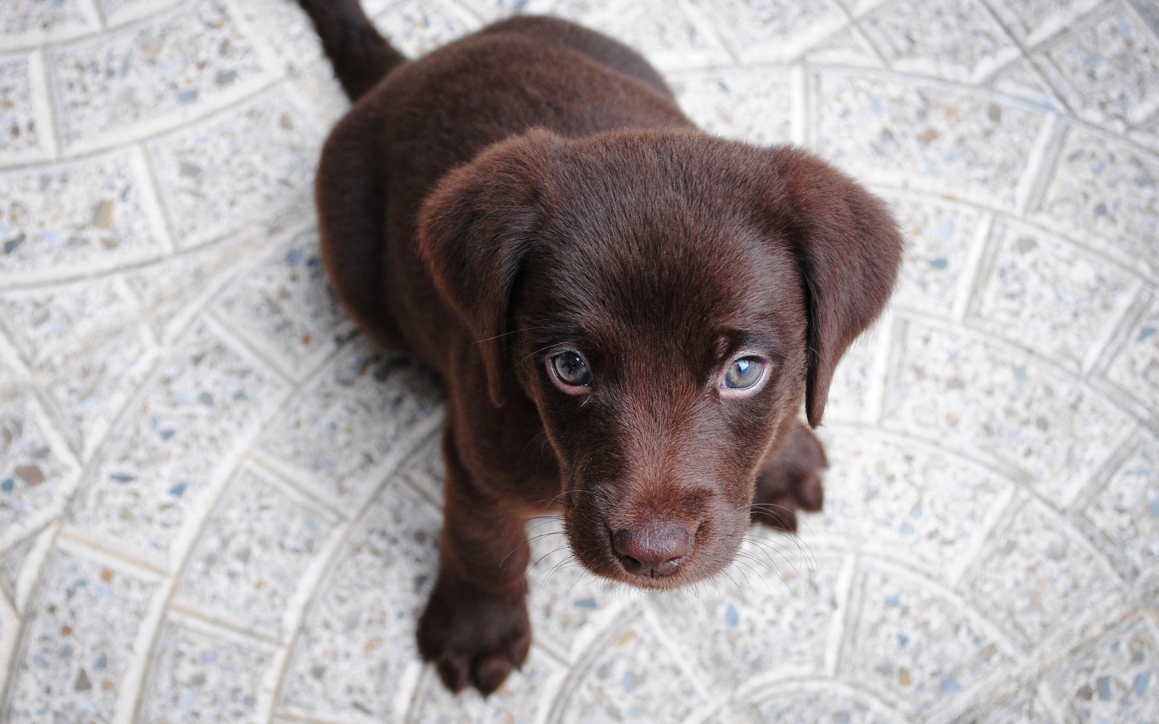 Photos Puppy Labrador Retriever Dogs From above animal Staring 3840x2400 puppies dog Glance Animals