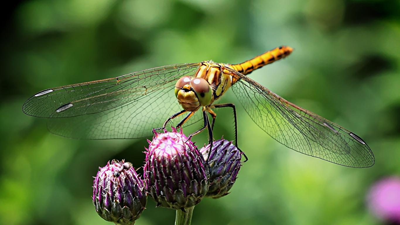 Fotos Insekten Libellen unscharfer Hintergrund Tiere Großansicht 1366x768 Bokeh hautnah ein Tier Nahaufnahme