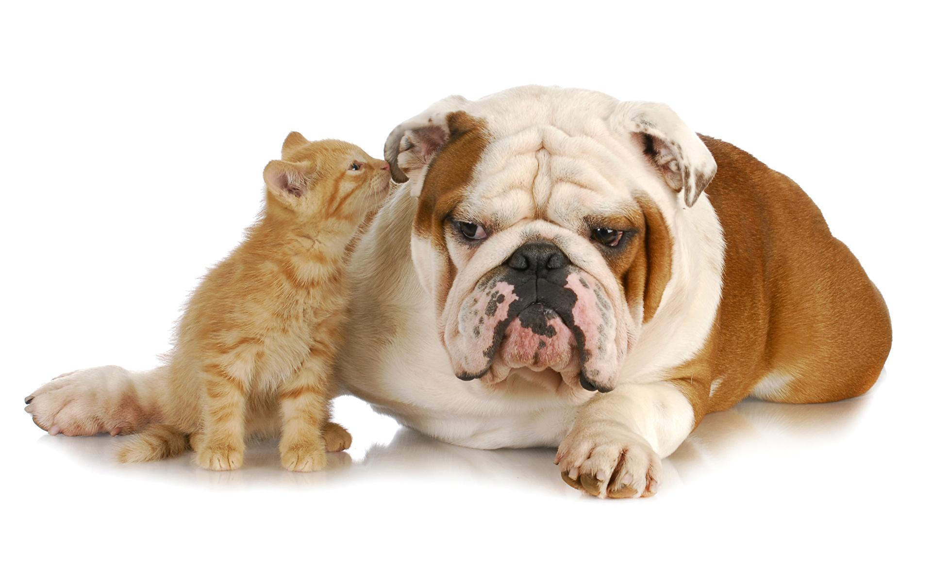 Foto Bulldogg Kattungar hund katt Två 2 Djur 1920x1200 Hundar Katter tamkatt