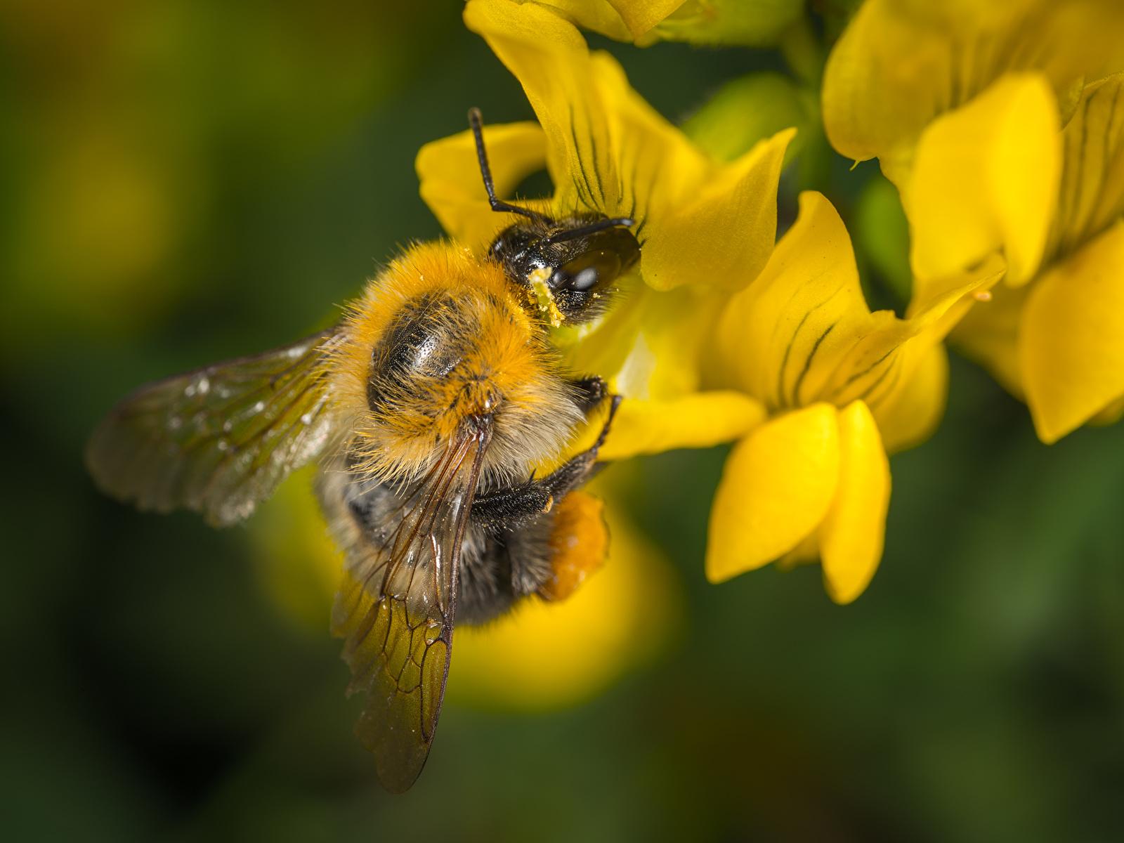 Foto Bienen Insekten unscharfer Hintergrund hautnah ein Tier 1600x1200 Bokeh Tiere Nahaufnahme Großansicht