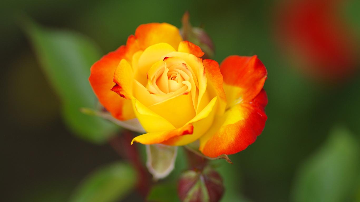 Fotos Bokeh Gelb Rose Blüte Nahaufnahme 1366x768 unscharfer Hintergrund Rosen Blumen hautnah Großansicht