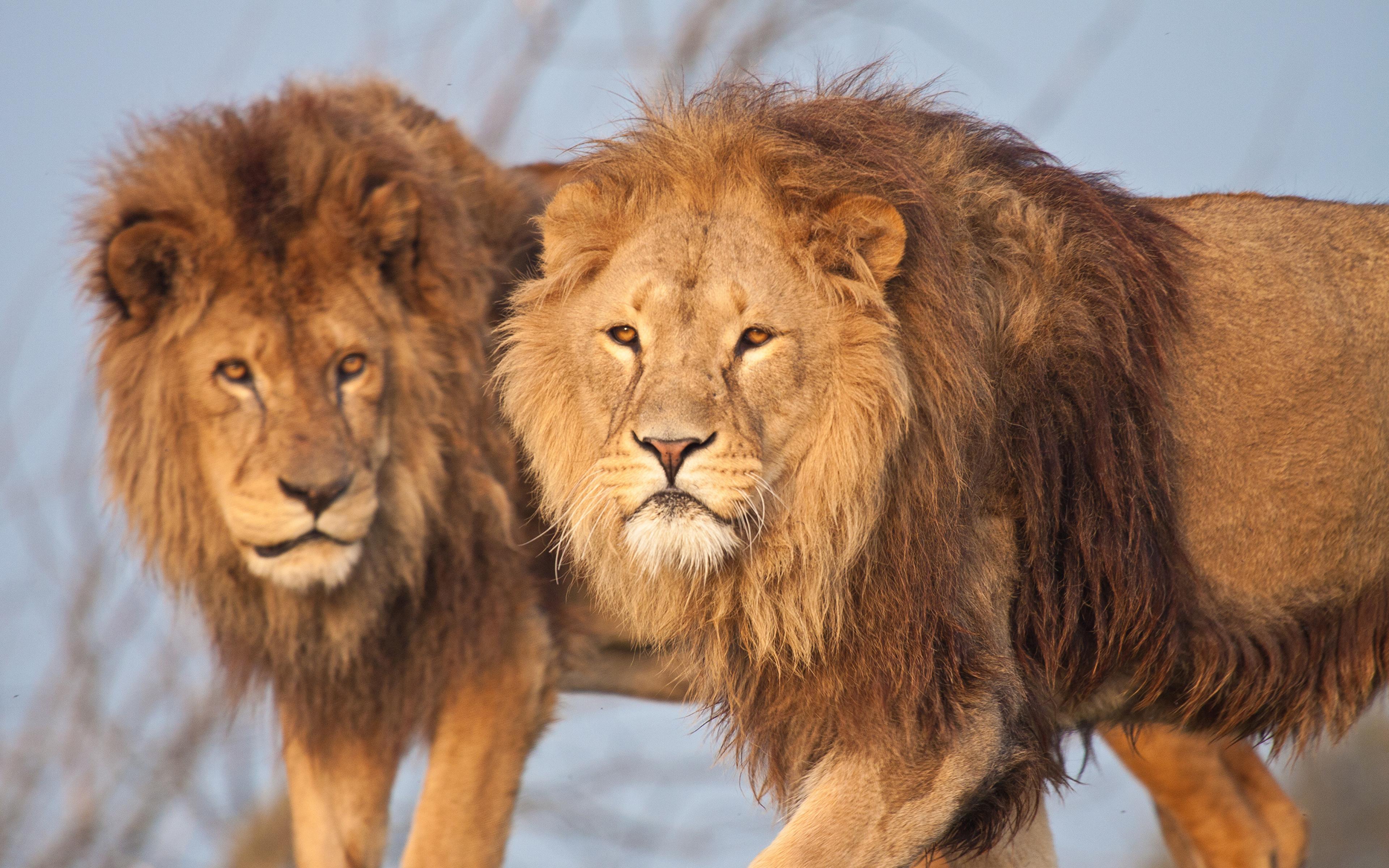 Foton Lejon Pantherinae Två 2 Djur 3840x2400