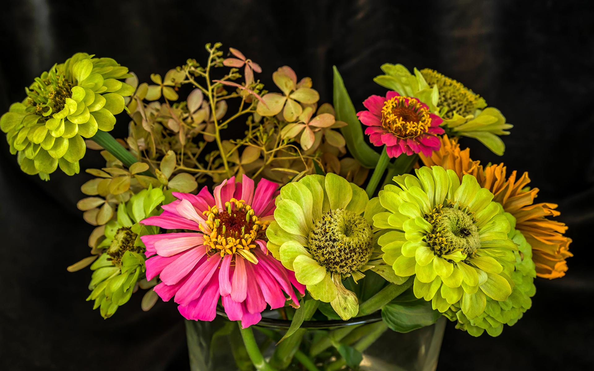 Bilder hellgrüne Blumen Zinnien hautnah 1920x1200 Gelb grüne Blüte Nahaufnahme Großansicht