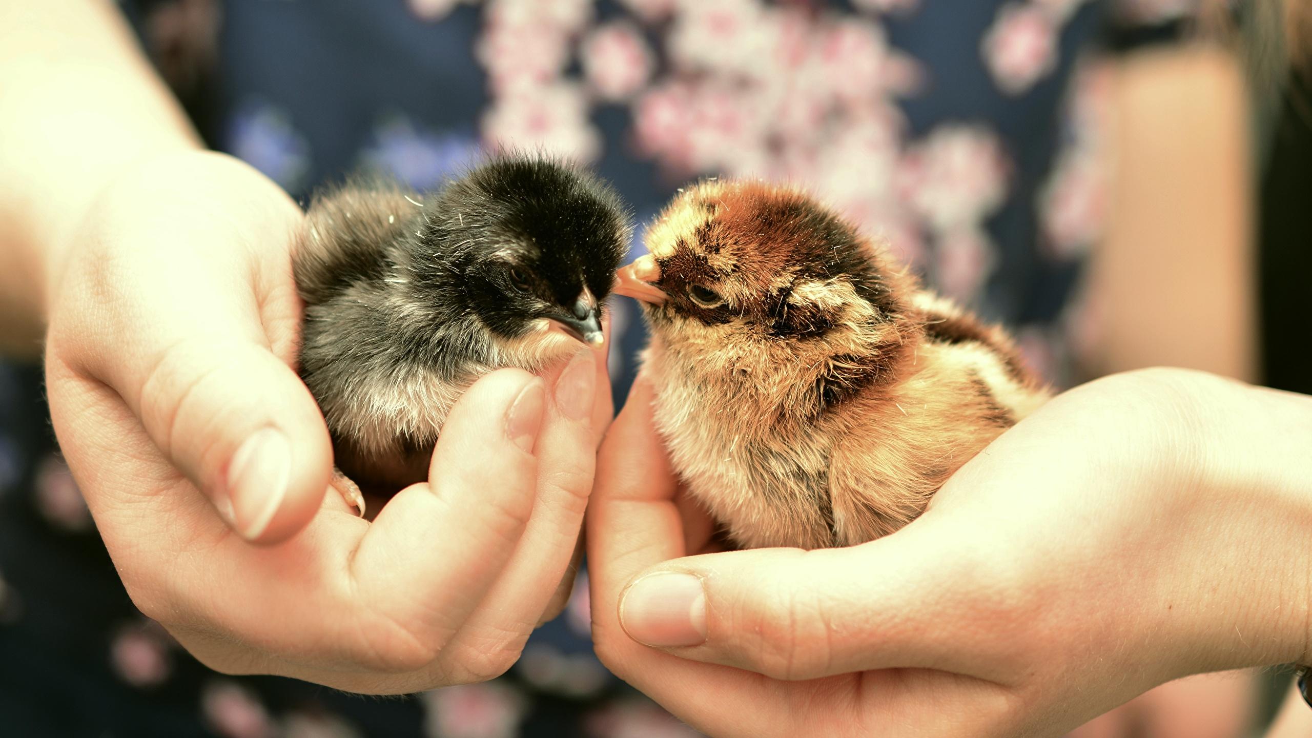 Bilder Hühner Hand Finger Tiere Großansicht 2560x1440