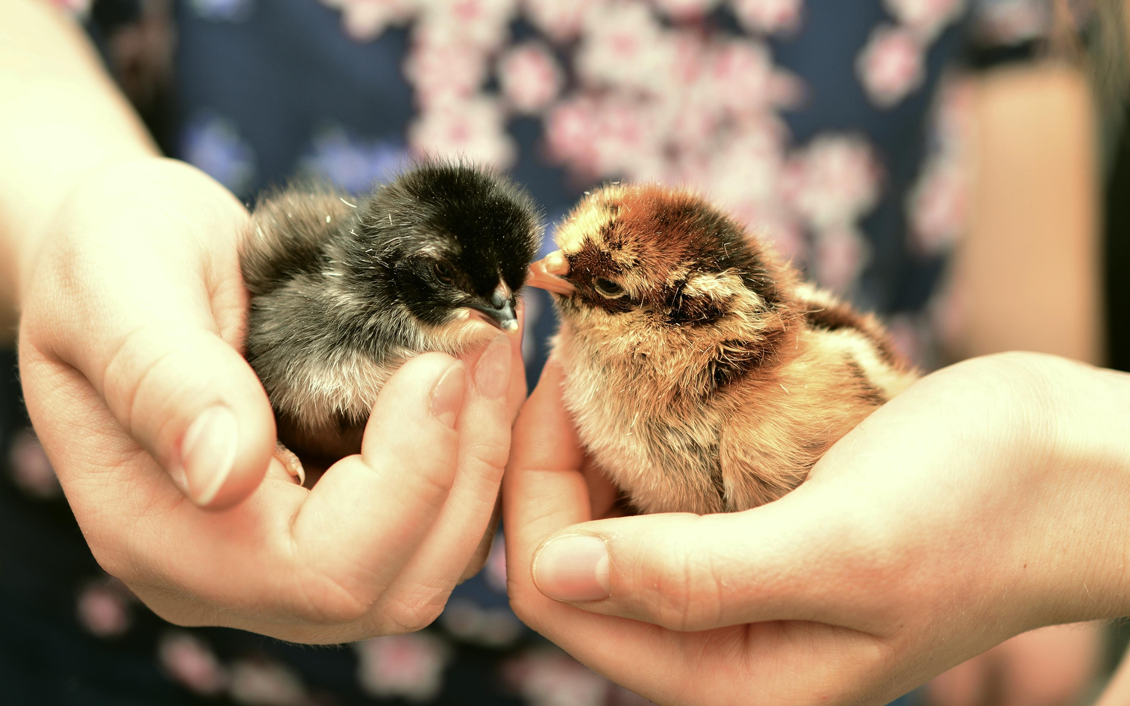 Bilder Hühner Hand Finger Tiere Großansicht 3840x2400