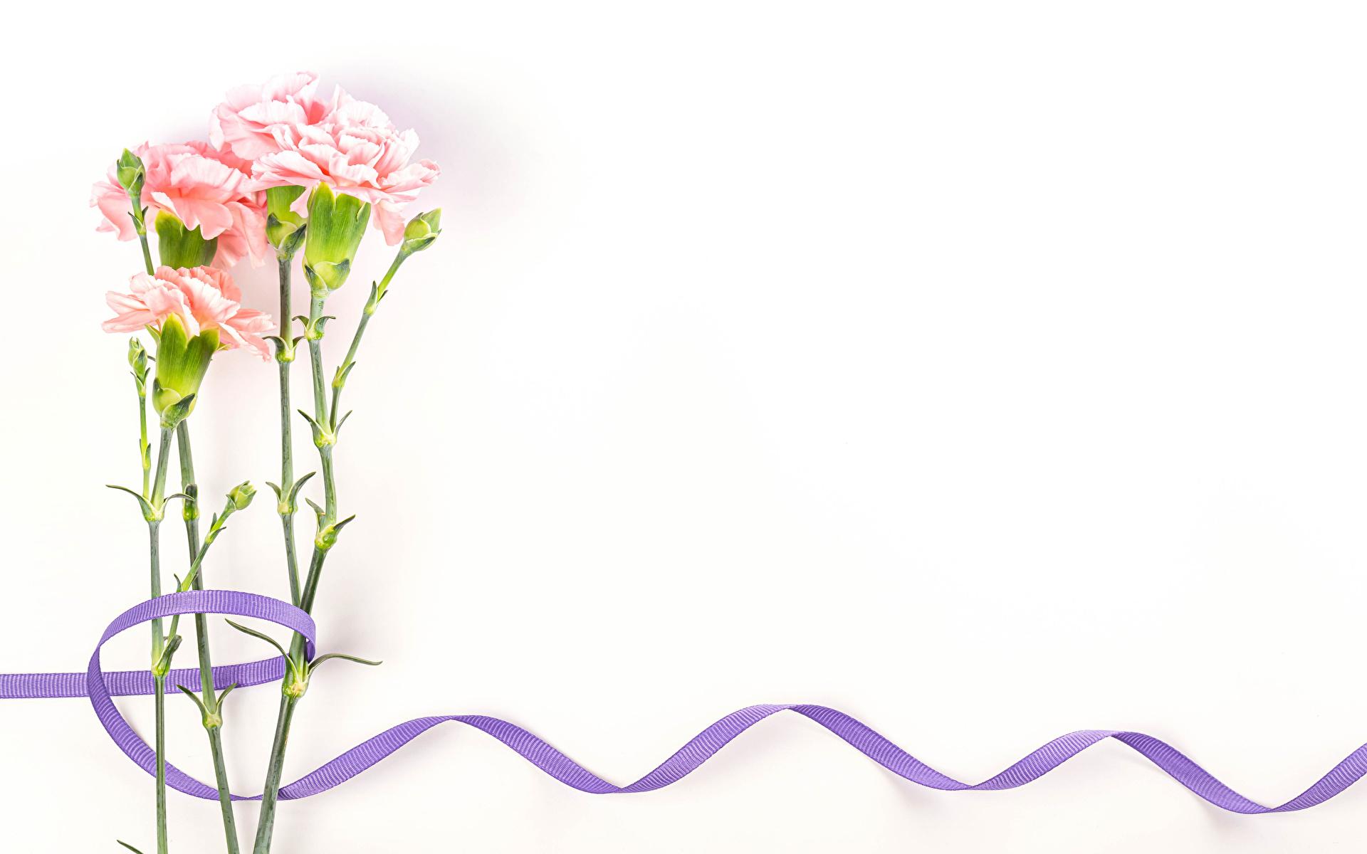 Achtergronden bureaublad anjer Bloemen Een lint Wenskaart Sjabloon Witte achtergrond 1920x1200 bloem Anjers wenskaartsjabloon