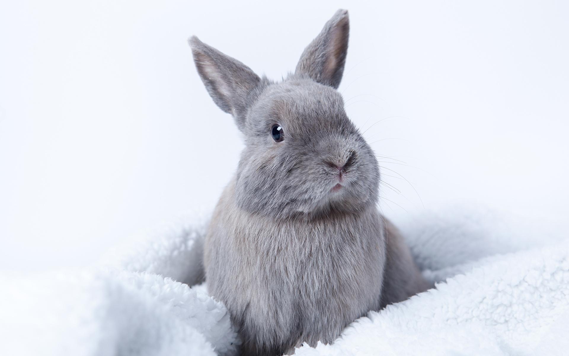 Обои для рабочего стола кролик серая животное 1920x1200 Кролики Серый серые Животные