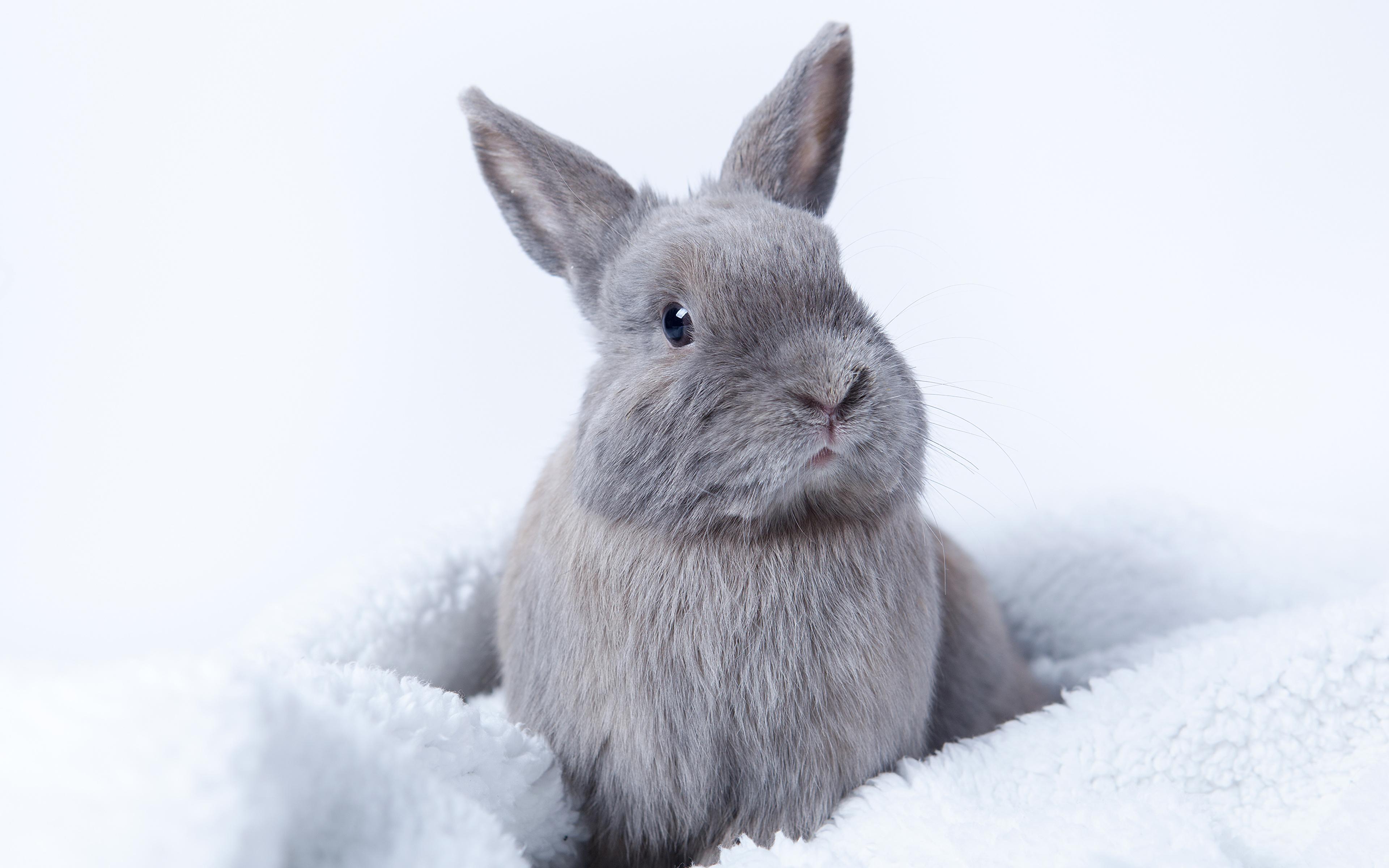 Images rabbit gray animal 3840x2400 Rabbits Grey Animals