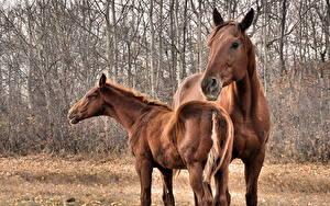 Fotos Pferde Starren Kopf Schwanz ein Tier