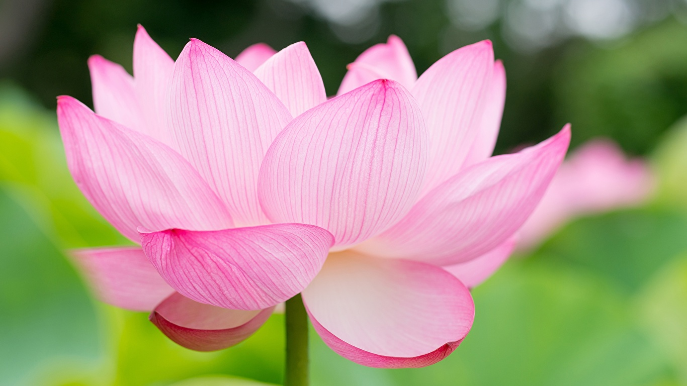 Bilder Rosa Farbe Blumen Lotosblume Großansicht 1366x768 Lotus Blüte hautnah Nahaufnahme