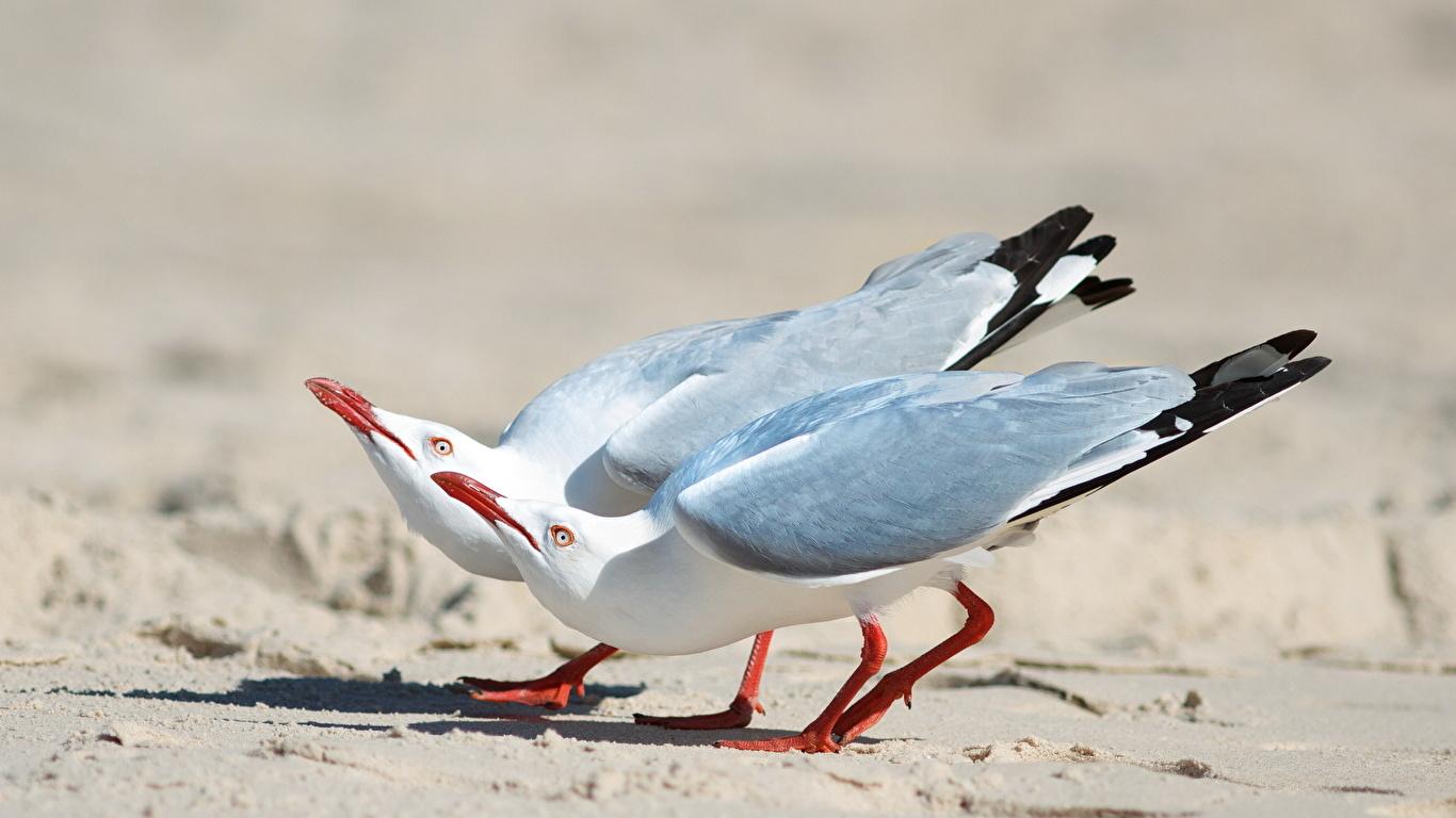 Image Gull Two Sand animal 1366x768 seagulls 2 Animals