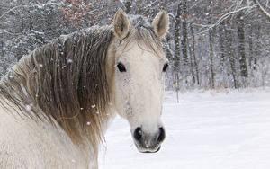 Hintergrundbilder Pferde Winter Kopf Schneeflocken Schnee ein Tier