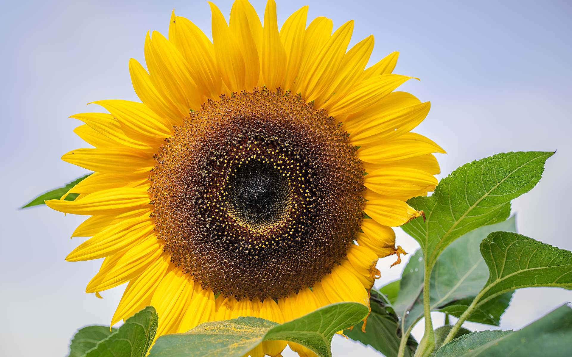 Photo Yellow Flowers Helianthus Closeup 1920x1200 flower Sunflowers