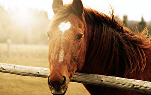 Hintergrundbilder Pferde Kopf ein Tier