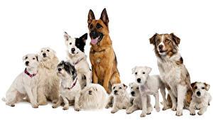 Hintergrundbilder Hunde Viel Shepherd Havaneser Sitzend