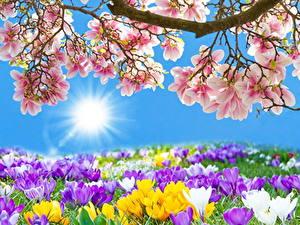Hintergrundbilder Blühende Bäume Krokusse Viel Sonne Blumen