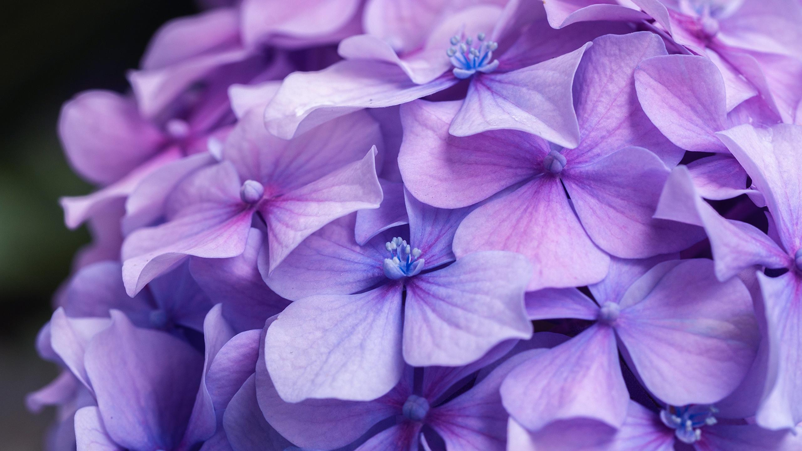 Bilder Violett Blüte Hortensien Großansicht 2560x1440 Blumen Hortensie hautnah Nahaufnahme