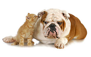Images Dog Cat Two Bulldog Kitty cat Animals