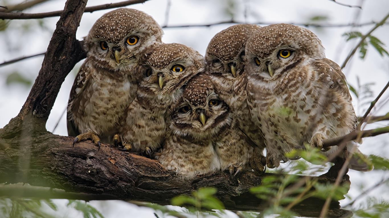 Images Owls Birds 5 Animals 1366x768 owl bird animal