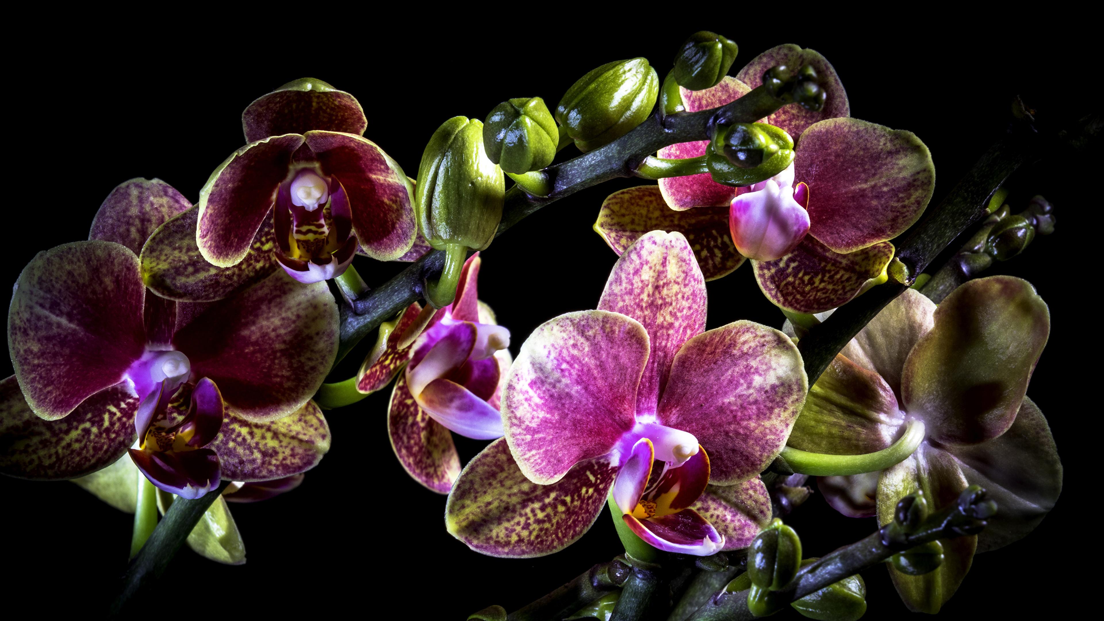 Fonds D Ecran 3840x2160 Orchidees En Gros Plan Fond Noir