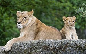 Fotos Große Katze Löwe Jungtiere Löwin