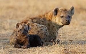 Fotos Hyänen Jungtiere Zwei Tiere