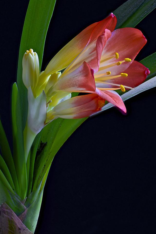 Bilder Clivia Blüte Großansicht Schwarzer Hintergrund 640x960 für Handy Blumen hautnah Nahaufnahme