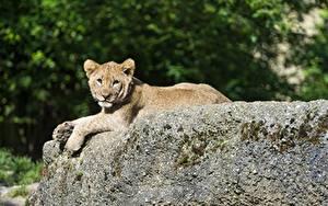 Bilder Große Katze Löwe Jungtiere Steine
