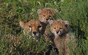 Fotos Große Katze Gepard Jungtiere Drei 3 Gras