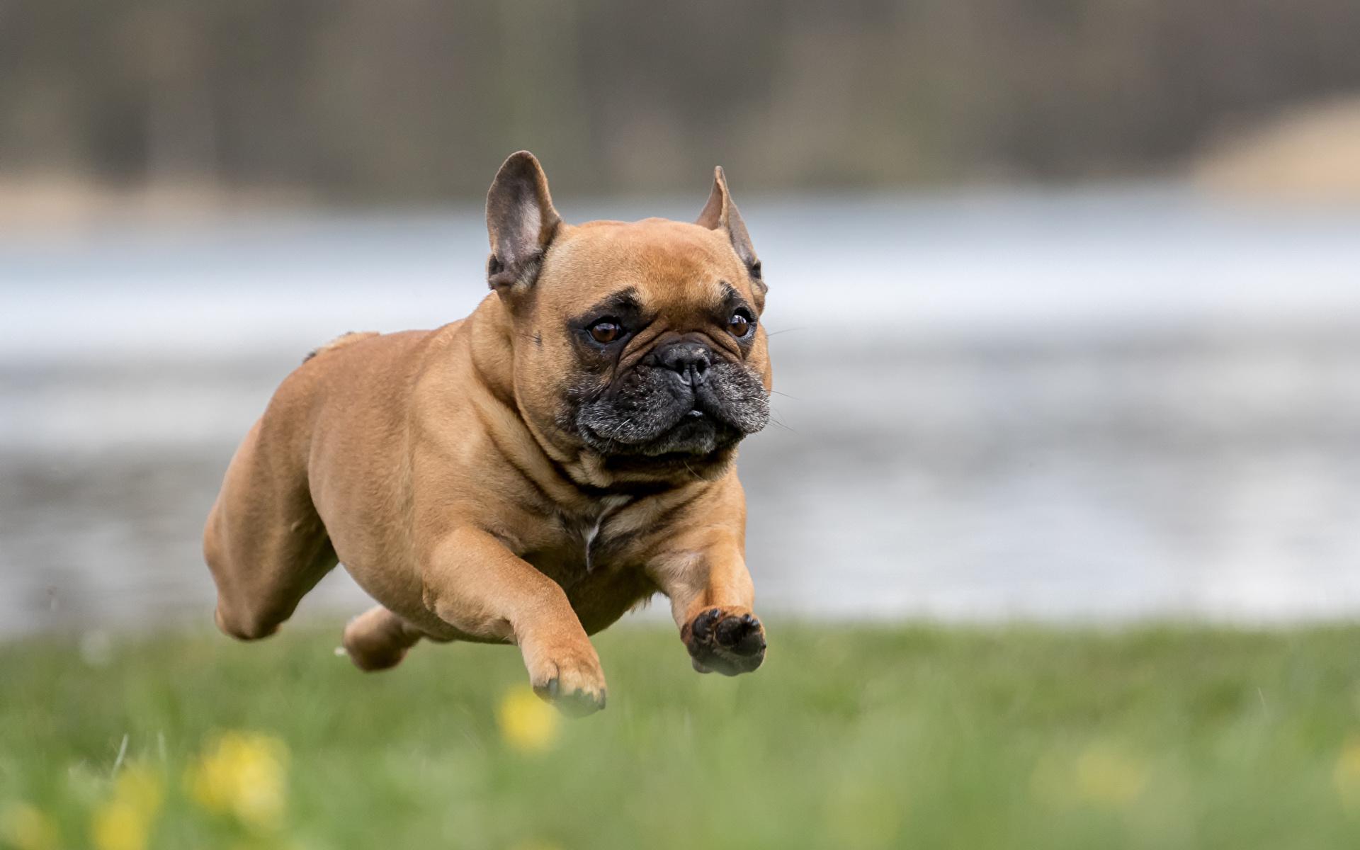 Resultado de imagen para french bulldog running