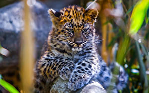 Bilder Große Katze Leopard Jungtiere