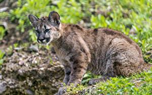 Fotos Pumas Große Katze Jungtiere Gras