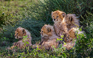 Bilder Gepard Jungtiere Große Katze Gras