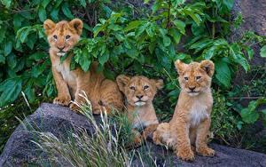 Fotos Große Katze Jungtiere Löwe Drei 3