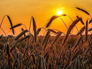 Fotos Himmel Felder Großansicht Weizen Ähren Sonne