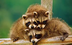Fotos Waschbären Jungtiere Drei 3 Tiere