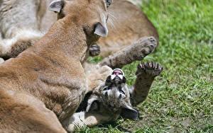 Bilder Pumas Jungtiere Große Katze Gras