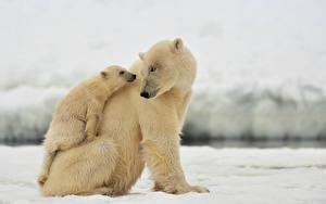 Fotos Bären Eisbär Jungtiere 2