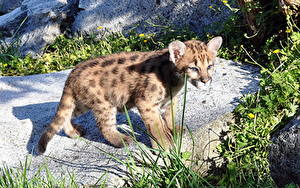 Fotos Pumas Jungtiere Große Katze