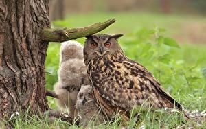 Bilder Eulen Jungtiere Vögel Gras Baumstamm