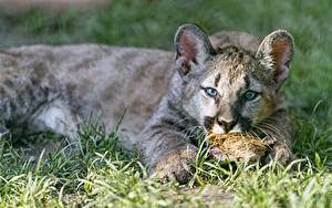 Bilder Pumas Jungtiere Große Katze Gras Blick