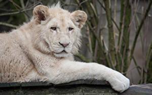 Fotos Löwe Jungtiere Große Katze Weiß