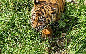 Fotos Tiger Jungtiere Große Katze Gras Tiere