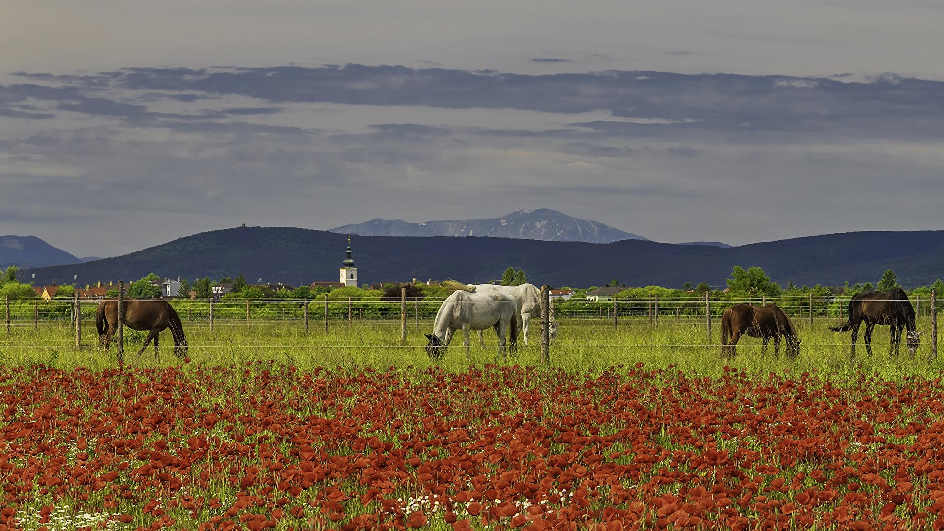 Foto Cavallo papaver Recinzione Campo agricolo animale 1920x1080 Siepe Papaveri Animali