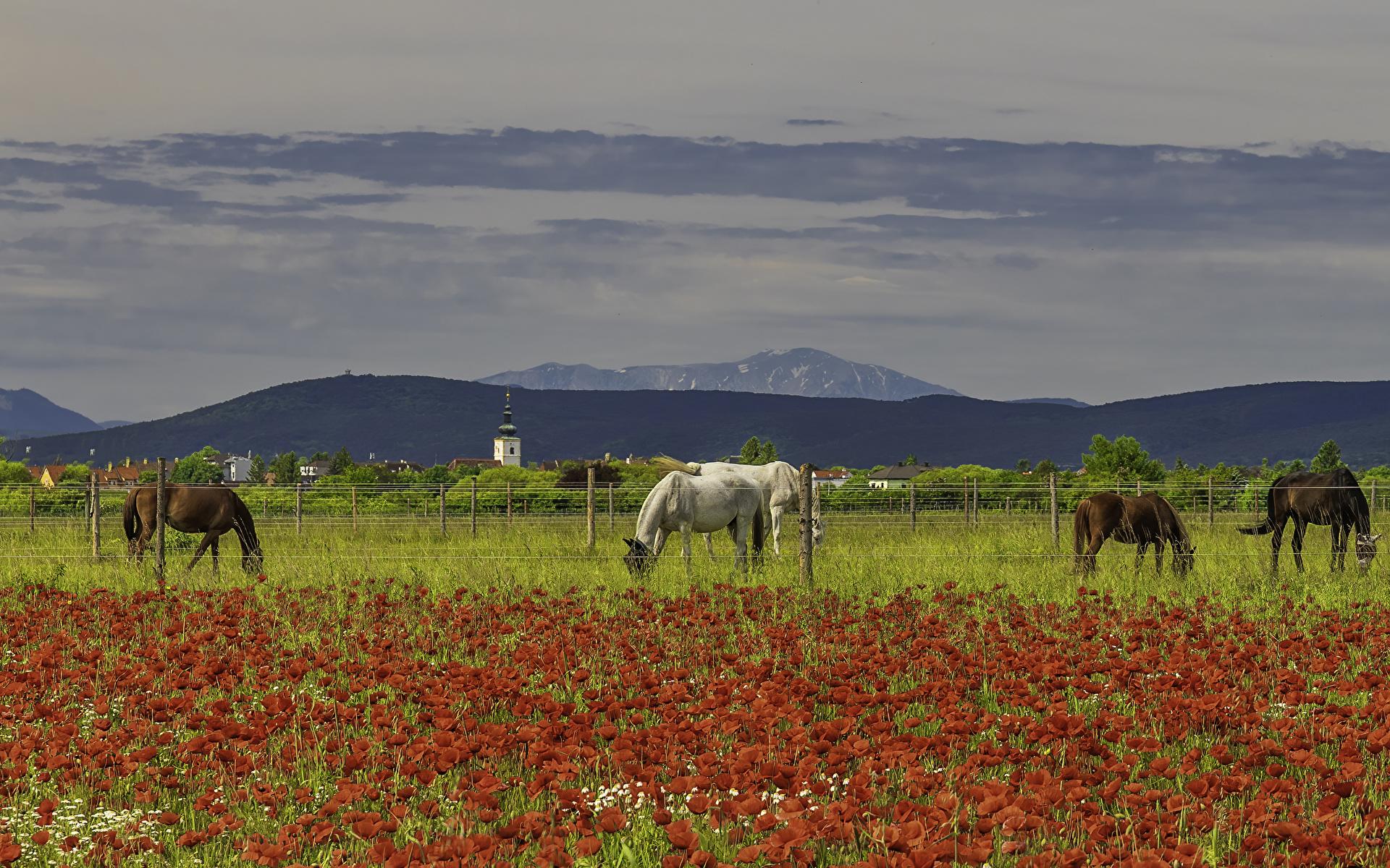 Фотография Лошади мак Поля ограда Животные 1920x1200 лошадь Маки Забор забора забором животное