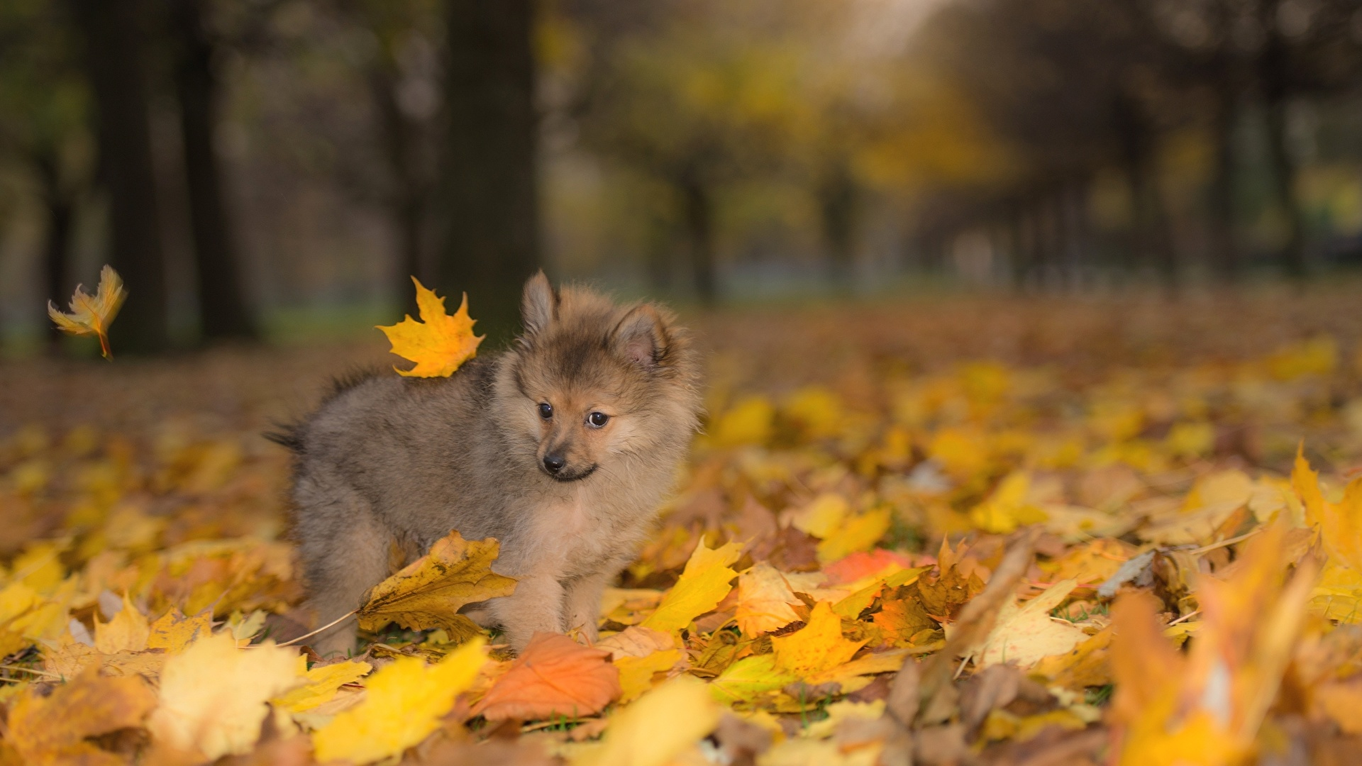 Photo Spitz Puppy Dogs Leaf Autumn Animal 1920x1080