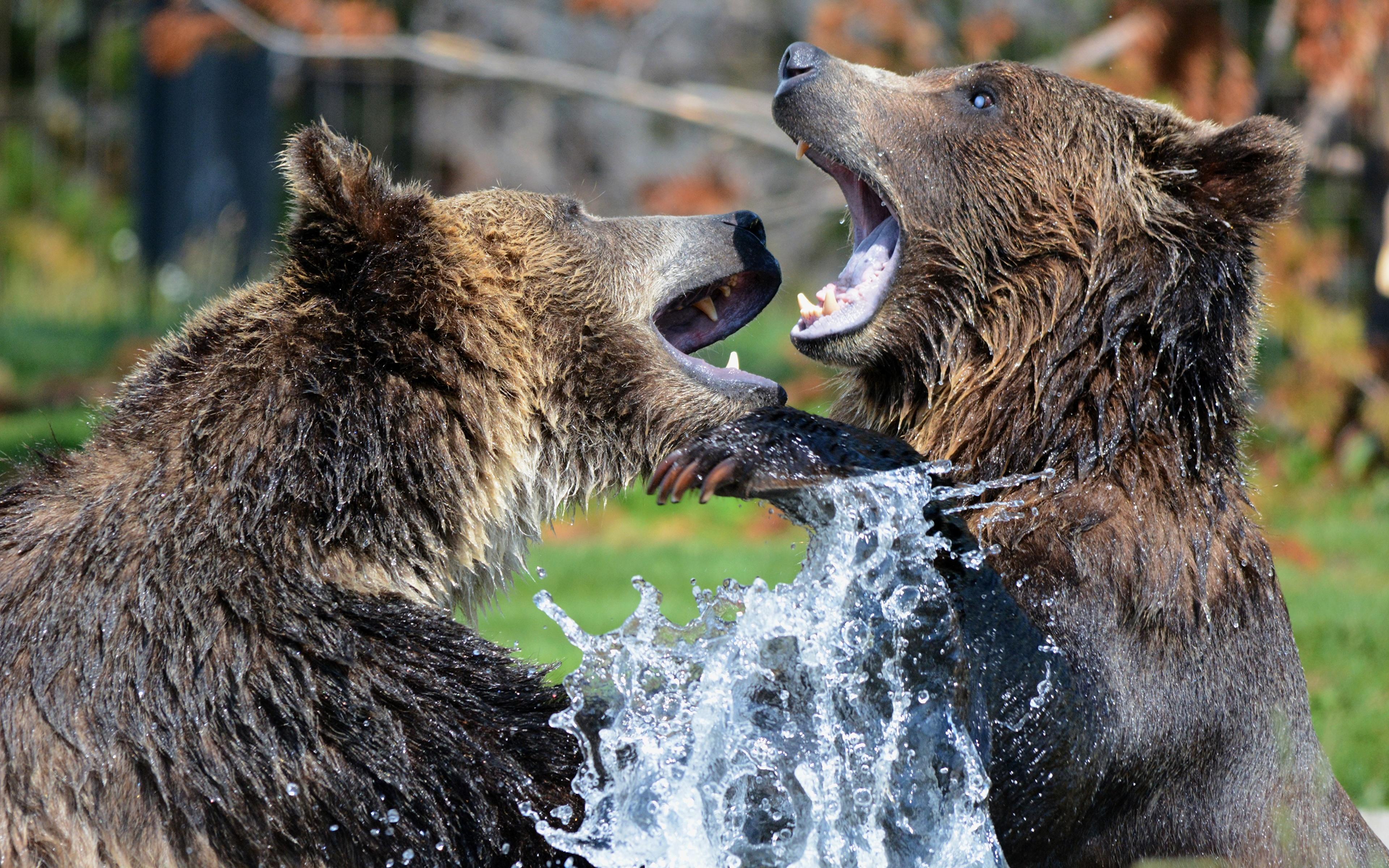 Bilder von Braunbär Bären Zwei Schlägerei Spritzer Tiere Großansicht 3840x2400 2