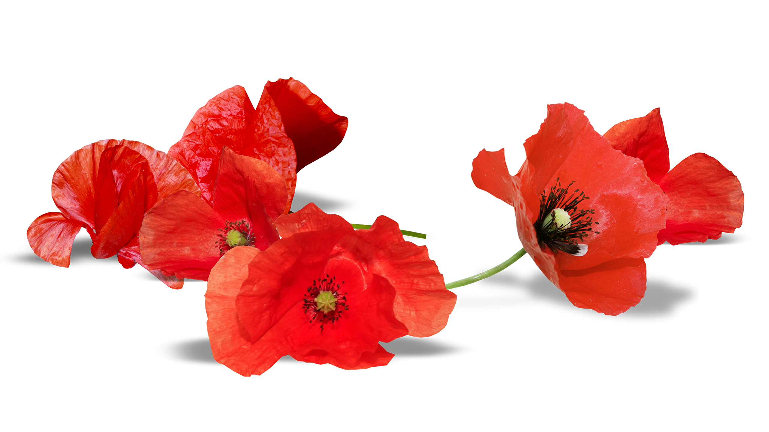 Pictures Red Flowers Papaver Closeup White Background 2560x1440